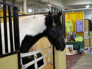 A lovely Gypsy Vanner on display