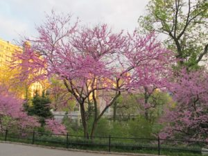 Redbuds in bloom at the East 86th Street entrance to Central Park