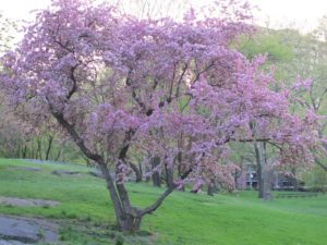 A crab apple tree blooms along the West Drive in the northern section of Central Park.