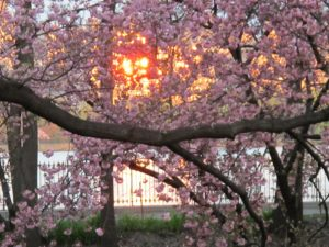 The sun reflecting on the glass of a building through flowering cherry trees at the Reservoir