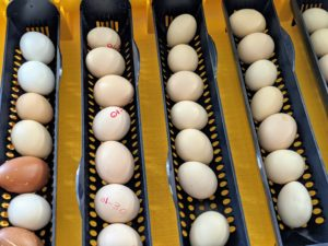 Once an egg comes up from the coop, we label it with the date it was placed in the machine, so we can gage approximately when it will hatch. There are several crucial conditions needed for proper embryo development in all birds. These factors include: proper temperature, controlled humidity, and sufficient air circulation.