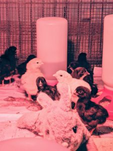 Once they are fully active, the chicks are moved to a larger crate in my basement.