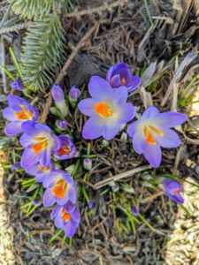 Crocus is among the first flowers to appear in spring, usually in shades of purple, yellow and white. There are about 90 different species of crocus that originate from Southern Europe, Central Asia, China, the Middle East, and Africa.