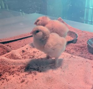 The cheeks on these chicks are nothing short of adorable.