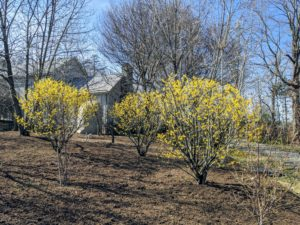 The witch-hazel is also blooming nicely. It grows as small trees or shrubs with clusters of rich yellow to orange-red flowers.