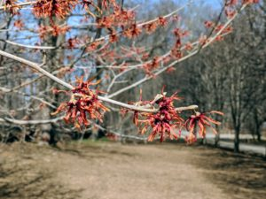 Most are familiar with witch-hazel as a medicinal plant. Its leaves, bark, and twigs are used to make lotions and astringents for treating certain skin inflammations and other irritations.