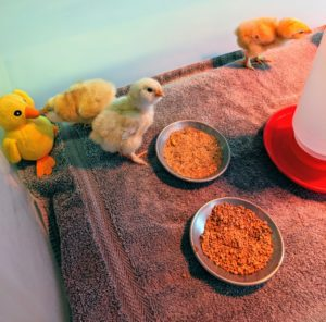 On average, about 10-chicks can consume approximately one-pound of chick starter feed per day. A good chick starter feed will contain protein for weight gain and muscle development, plus vitamins and minerals to keep them healthy and to build their immune systems.