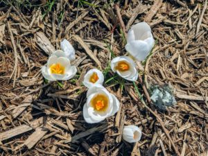 Here are some white crocuses. They only reach about four inches tall, but they naturalize easily, meaning they spread and come back year after year.