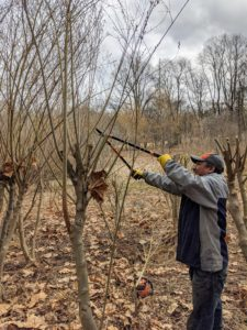 Pete works on another pussy willow using loppers. Branches of pussy willows that are already crossing should be removed. They shade each other, reducing the number of catkins.