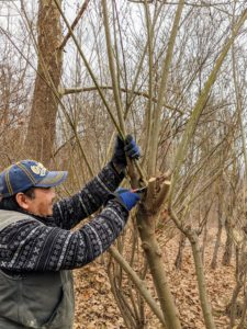 He uses sharp pruners and makes cuts above the nodes.