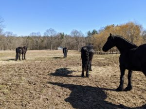 "This is what is called the ""run-in"" paddock. It is the largest of the horse paddocks and has a run-in shed in the distance. Here are four of the five Friesians – Rinze, Meindert, Ramon, and Rutger. Sasa and Banchunch are turned out in another paddock."