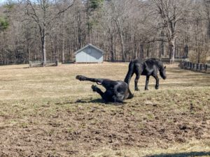Sometimes they roll all the way over - my Friesians are quite playful.
