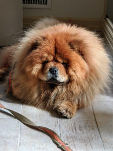 Meanwhile, Empress Qin waits patiently nearby. Qin is a champion show dog. According to the breed standard, Chows must have a lovely thick mane, with small rounded ears, giving it the appearance of a lion when all grown up. My Qin is so beautiful.