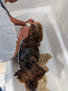 Once again, Han is rinsed thoroughly, making sure there is no shampoo or conditioner left on the coat at all - the water needs to penetrate all the layers of the dog's heavy coat.