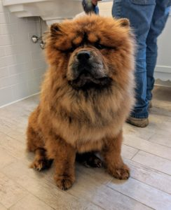 There are two types of coat on a Chow Chow – rough and smooth. Both are double-coated. This is a rough-coated Chow. The outer coat is abundant, dense, and straight. The undercoat is soft and woolly.