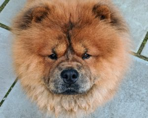 Chows come in five colors: red, black, blue, cinnamon and cream. The Chow should have a large head with a broad, flat skull, a short, deep muzzle, and very expressive eyes – hard to resist this face! My Han is so handsome.