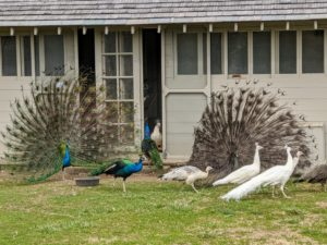 After breeding season ends in August, the males lose their long tail feathers and then grow them all back before the next breeding season begins. The train gets longer and more elaborate until five or six years old when it reaches maximum splendor.