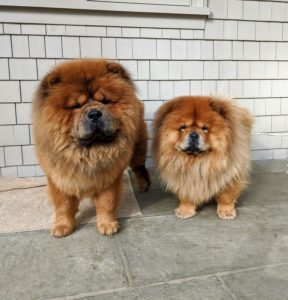 Clean and once again guarding their domain. The Chow Chow is an ancient breed of northern Chinese origin. As an all-purpose dog of China, it was used for hunting, herding, pulling and protection. I'll see you soon Emperor Han and Empress Qin.