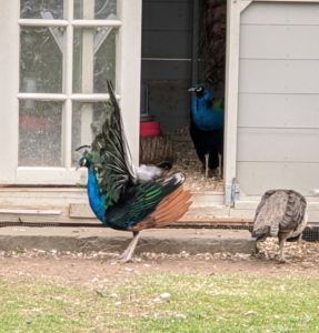 """The peacock turns in circles showing off his tail. This display is known as """"train-rattling."""""""