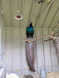 """While these birds are ground feeders and ground nesters, they still enjoy roosting at higher levels. In the wild, this keeps them safe from predators at night. My outdoor birds all have access to natural perches made from old felled trees here at the farm. It is important that they have a variety of perches upon which to roost. The peacocks and peahens have these """"planted"""" trees both inside and outside their coop."""
