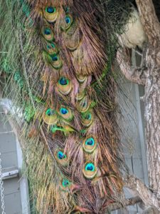 Here is a closer look at the gorgeous eyespots on this mature male's tail feathers.