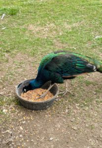 The birds get a healthy mix of cornmeal, soybean, and wheat. I also feed the birds spinach, cabbage, and squash. In the wild, peacocks are omnivores – they eat insects, plants, and small creatures. They do most of their foraging in the early morning and evening.