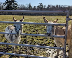 One nice thing about being home is that I get to spend more time with my pets - I just love their company. Here are my two youngest donkeys, Jude Junior and Truman Junior - affectionately named after my grandchildren. They joined my stable last May and are doing great.