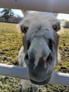 Although donkeys are very conscious of safety in their surroundings, they are also quite curious. Here is Jude Junior trying to get up close to the camera.
