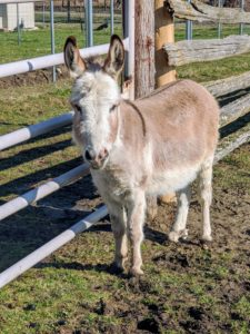 Of course, Truman Junior is never far. Look closely, donkeys usually have a dark stripe of fur down their backs and across their shoulders and can be born with a wide range of colors.
