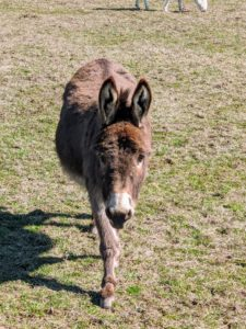 Here's Rufus coming to say hello. Donkeys are very social animals.