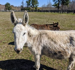 And here is Clive – the tallest of the five, but very friendly. Do you know... a donkey is capable of hearing another donkey from up to 60 miles away in the proper conditions? They have a great sense of hearing, in part because of their large ears.