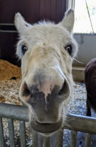 It's hard to resist a face as cute as Clive's. See you soon, my donkeys. Below is a short video of Jude Junior and Truman Junior running around the paddock - I am glad they are happy here at Cantitoe Corners.