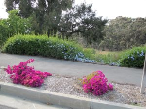 In California, the bougainvillea were blooming brilliantly along the roadside.