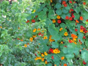 And so were the nasturtiums.