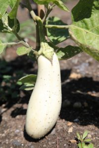 This white variety is eggplant - Casper.