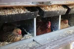 Three very happy hens busy at work.