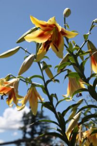 Gorgeous trumpet lilies in the cutting garden