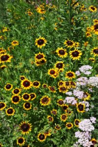 The showy flower heads of rudbeckia