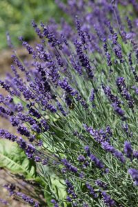 Fragrant lavender - look closely - honey bees galore