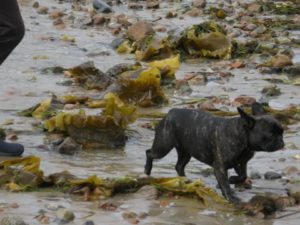 Here is Francesca foraging in the seaweed-covered beach.  With the churning surf, so much seaweed had been washed ashore.