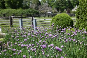 The chives are part of the herb garden in the stone terrace.