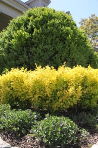 Also on the terrace are boxwood, golden barberry and teucrium.