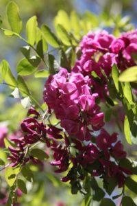 Beautiful black locust blooms.