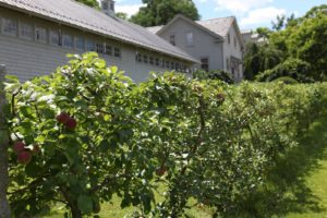 The apple espalier with ripening fruit
