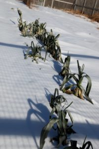 And this row of leeks