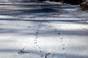Squirrel prints across the ice