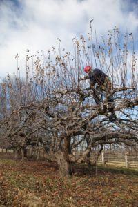 A crew from SavATree has been pruning all of the fruit trees.  Here they are working on some of the ancient apple trees.