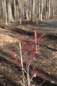 In the grove, I found the glowing bark of Acer palmatum 'Osakazuki'.