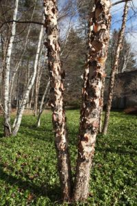 I just love the papery bark of River Birches.
