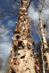Their cinnamon-colored, exfoliating bark is spectacular in the winter.